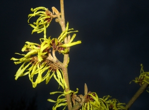 witch hazel against night sky