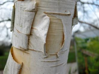 himalayan birch bark