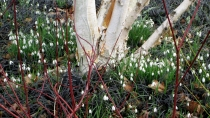 red dogwood, black mondo grass, himalayan birch, snowdrops