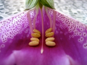 common foxglove flower opened