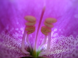 inside the flower of foxglove