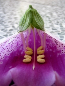 foxglove inside flower