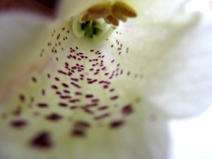 White foxglove close up