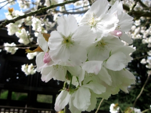 cherry blossom in japanese garden