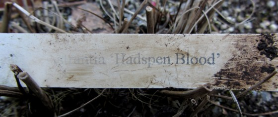 Astrantia plant label from Hadspen