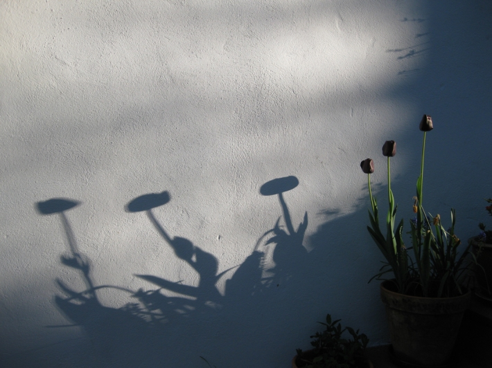 black tulips and their shadows cast on a white wall