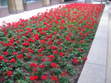 Red geranium coffins