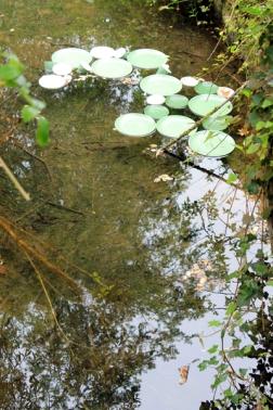 waterlilies-henley