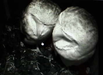 Barn owls together in nest box