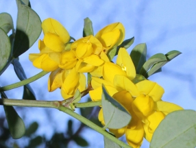 Coronilla close up