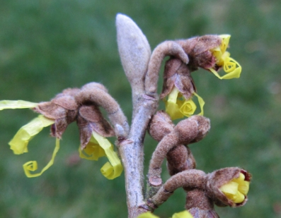 The unfurling flowers of Hamamelis Pallida