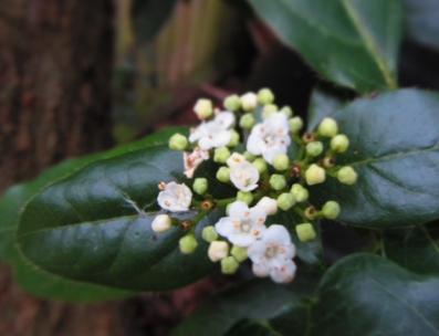 Vibernum tinus flower