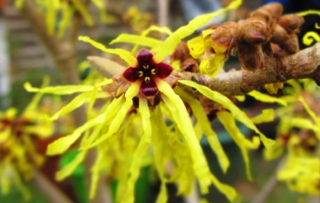 Witch hazel red centre to the yellow flower