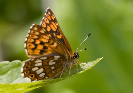 Duke of Burgundy Butterfly