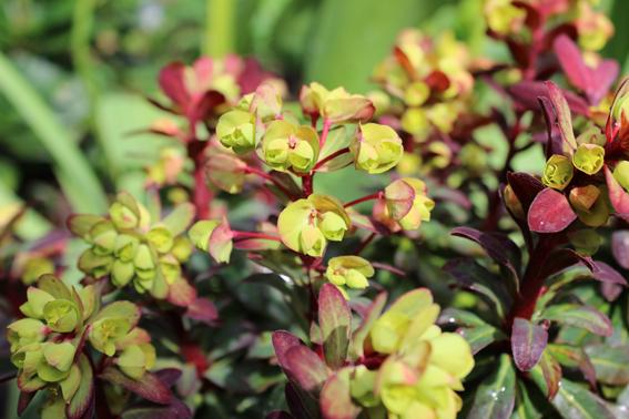 Euphorbia black and lime