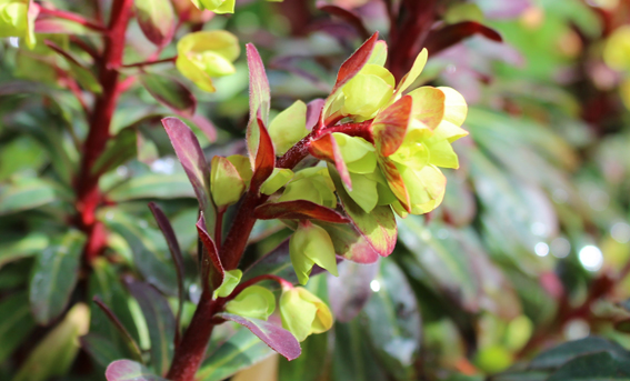 Euphorbia CU