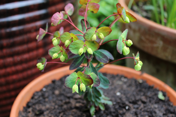 Euphorbia full plant