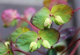 Lime green petals of Euphorbia