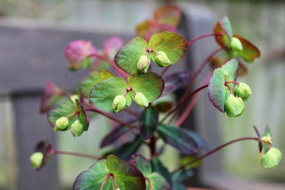 euphorbia petals