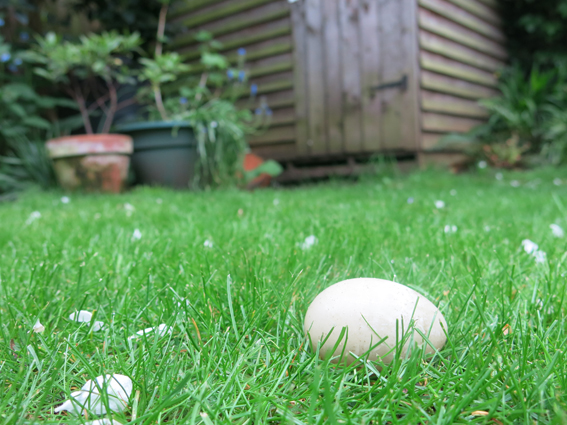 Duck egg on the lawn