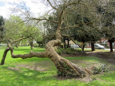 Ancient Mulberry Tree