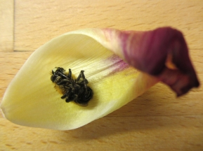dead bee in tulip