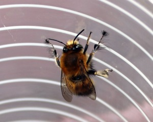 Hairy footed flower bee 3