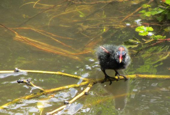 Moorhen chick