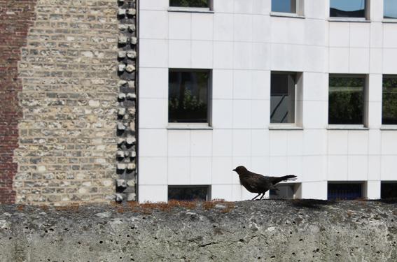 21. Young blackbird