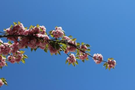 6 Cherry Blossom branch Paris