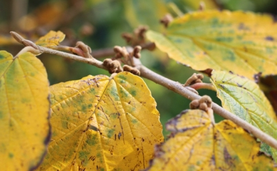 Wirch hazel October leaf and bud