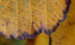 Witch hazel leaf brown edge CU