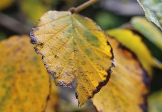 Witch hazel leaf brown edge