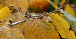 Witch hazel leaf with buds 2
