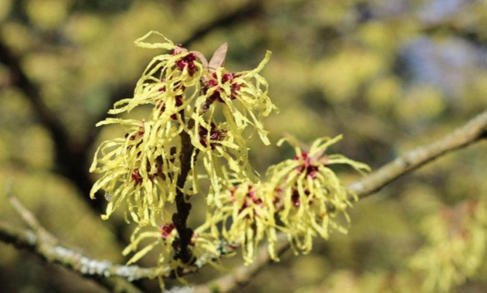 Witch Hazel flower close