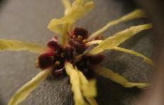 Witch Hazel Microscope 4