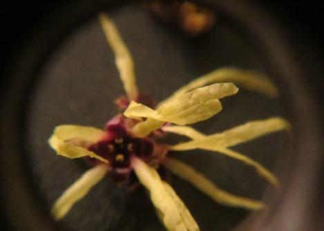 Witch Hazel Microscope 6