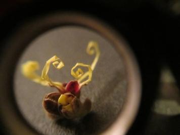 Witch Hazel Microscope 8