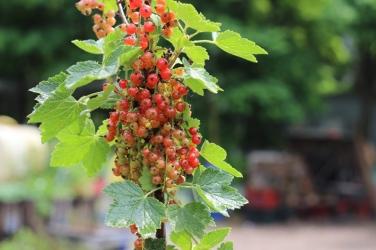 Princezzinnen Garten redcurrants