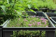 Princezzinnen Garten Thyme
