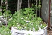 Princezzinnen Garten tomatoes