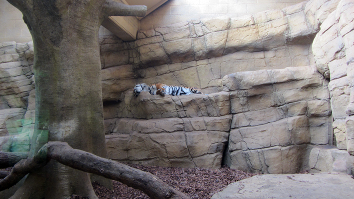 Tiger at London Zoo on shelf